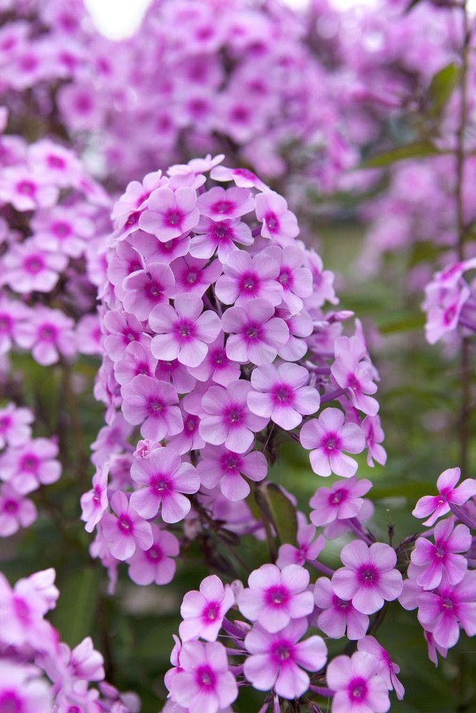 Phlox paniculata 'Miss Pepper' | Phlox | Plants, Garden ...