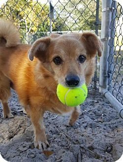 Fort Myers Fl Pomeranian Chihuahua Mix Meet Noeln A Dog For Adoption Http Www Adoptapet Com Pet 17581845 Fort Myers F Pets Dog Adoption Kitten Adoption