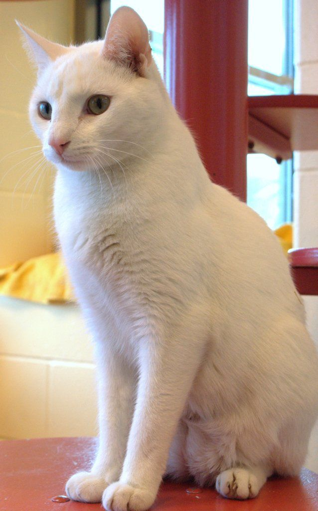 CafeCo - Image - all white cat breeds | GATO BRANCO | Pinterest ...