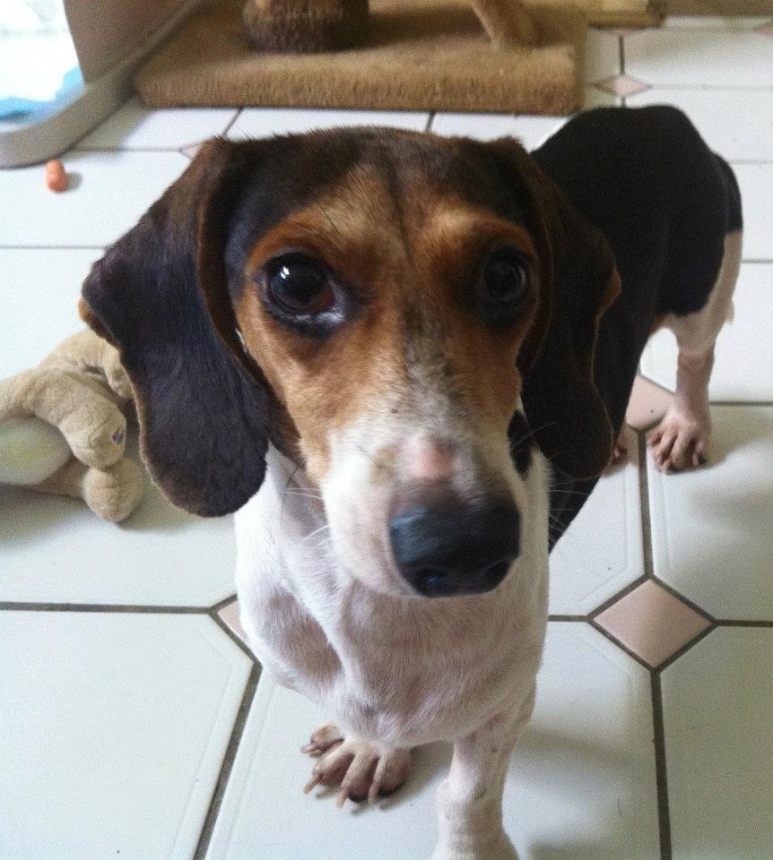 Beagle dachshund mix with images dachshund mix