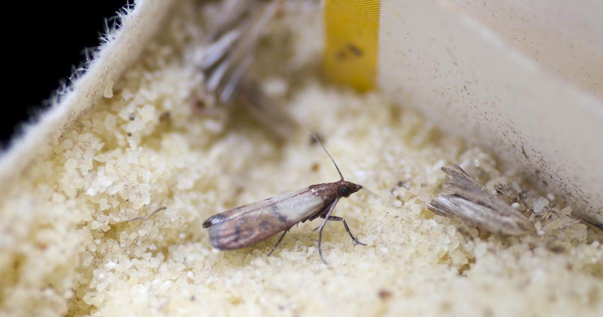 So Helfen Schlupfwespen Gegen Motten Mit Bildern Haushaltsfee Haushalt Lebensmittelmotten