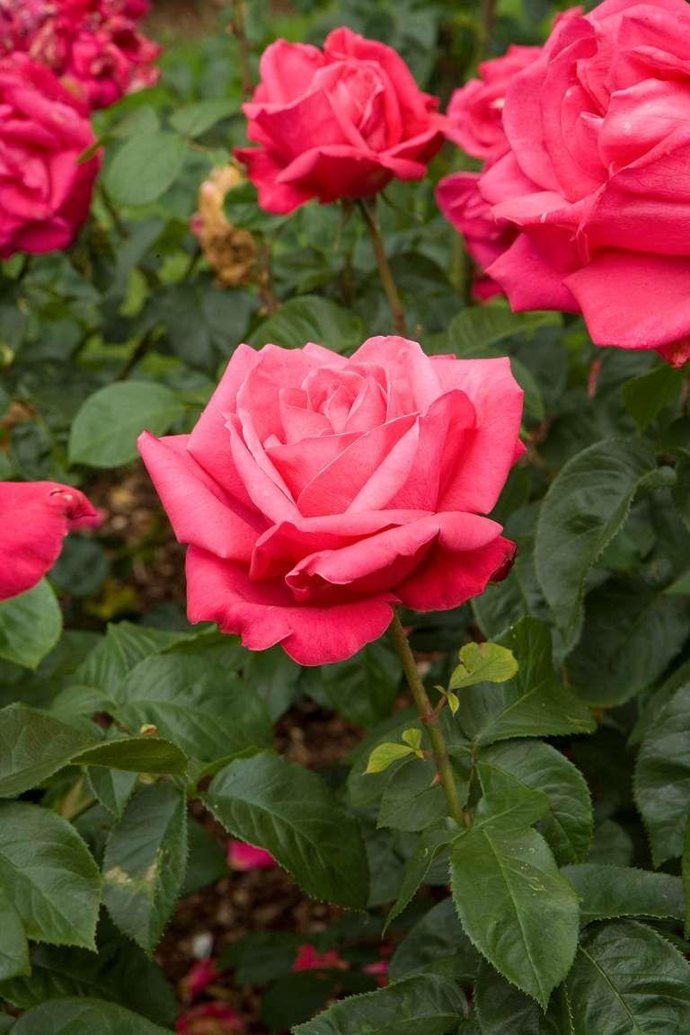 17 Fancy Rose Flower Gardening Collection Garden Flower Gardenflowery Com In 2020 Pruning Roses Planting Roses Hybrid Tea Roses Garden