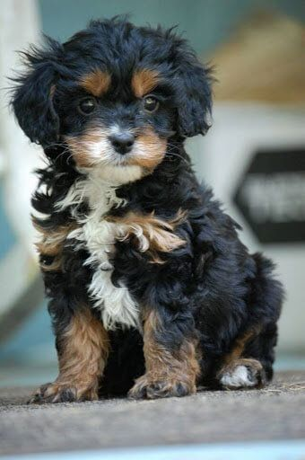 Cavapoo Pup black and tan, the cutest! Description from