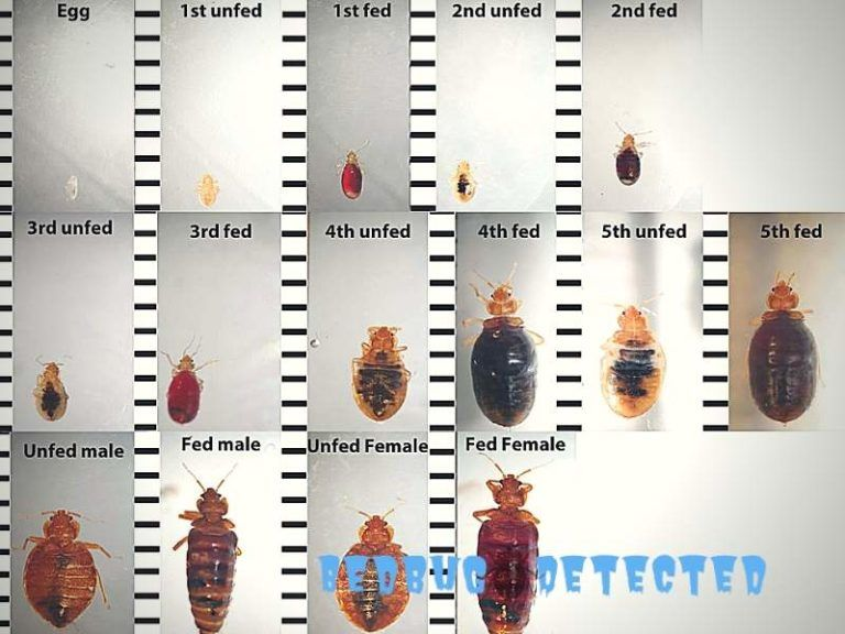 Bed bug life stages bed bugs