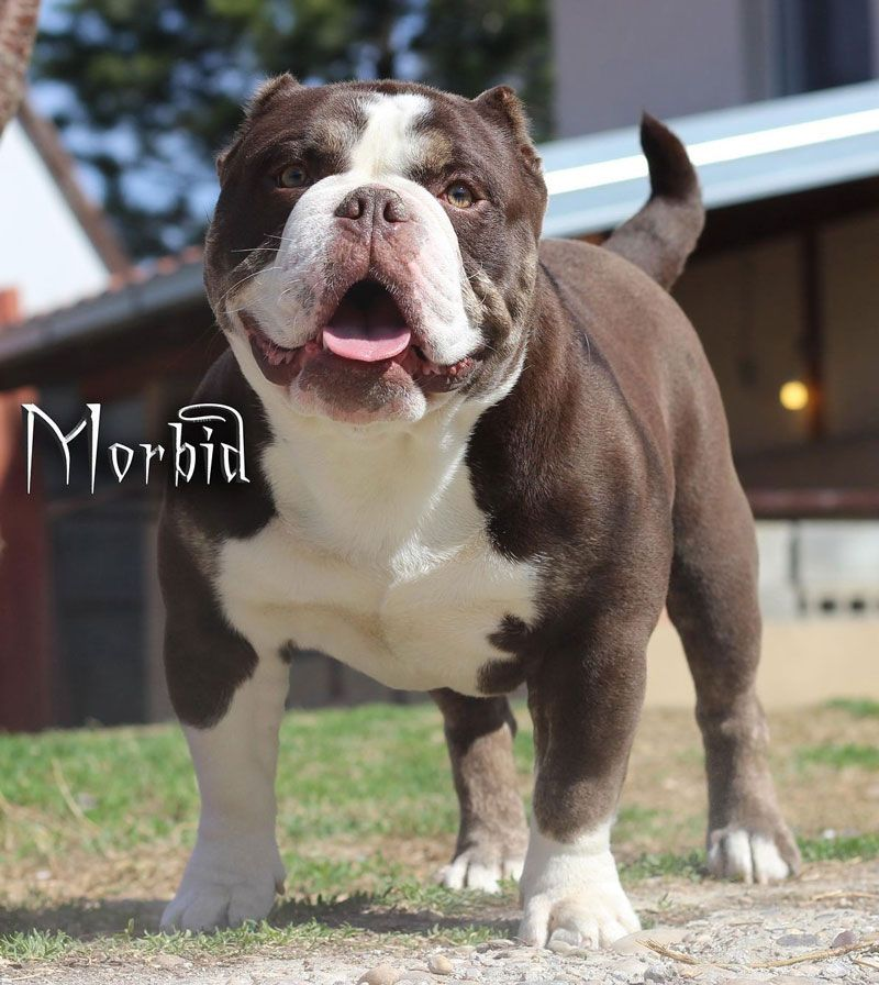 Pin on exotic bully