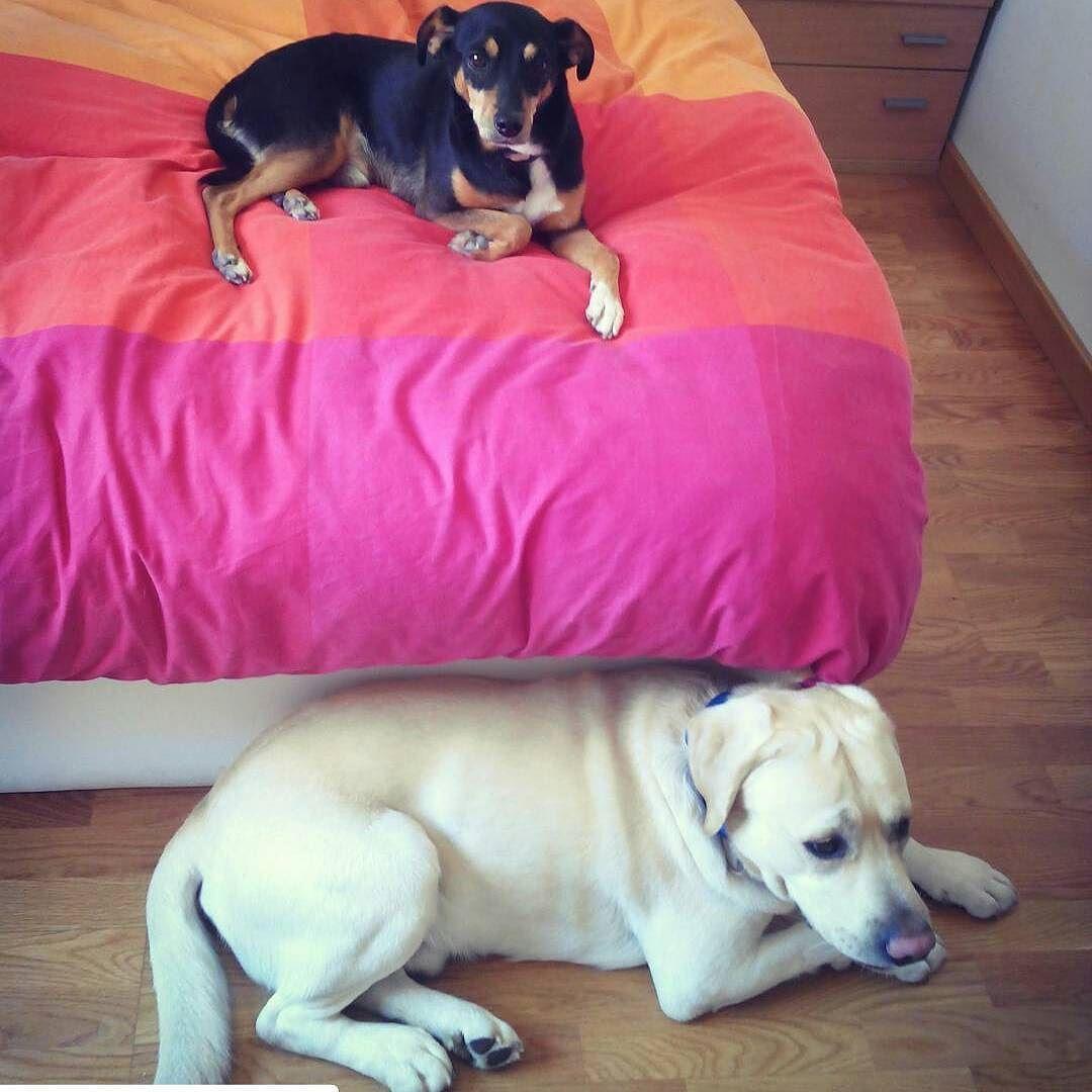 "dogbuddyes: ""#Repost @ainaposa with @repostapp  Baldrick y Sammy descansando después de un largo paseo :) #dogbuddy #dogsofinstagram #dogbuddyes #instadog #perrosdeinstagram #perro #cangurocam #ilovemydog #baldrick #barcelona #resting #blackandwhite #pinscher #bodeguero #labrador #retriever #tireddog #happydog"""