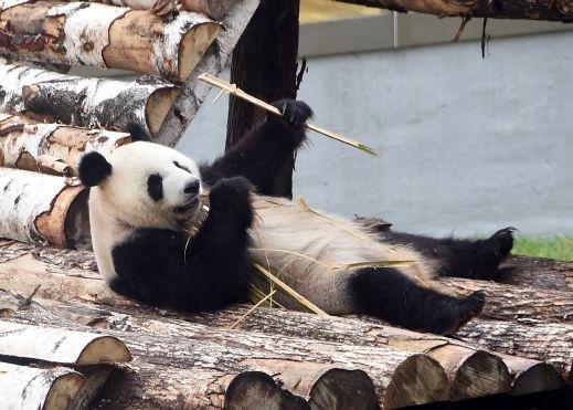 تعرفوا على دب الباندا العملاق في الصين صور منتديات السبطين Panda Bear Animals Panda