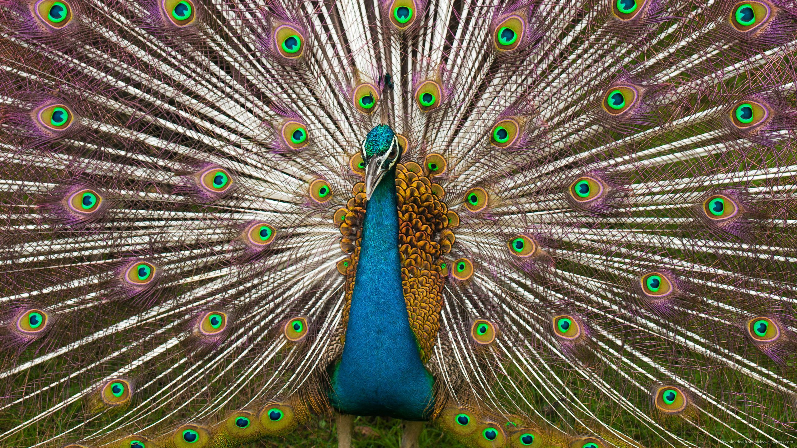 Indian Peacock Plumage for 2560x1440