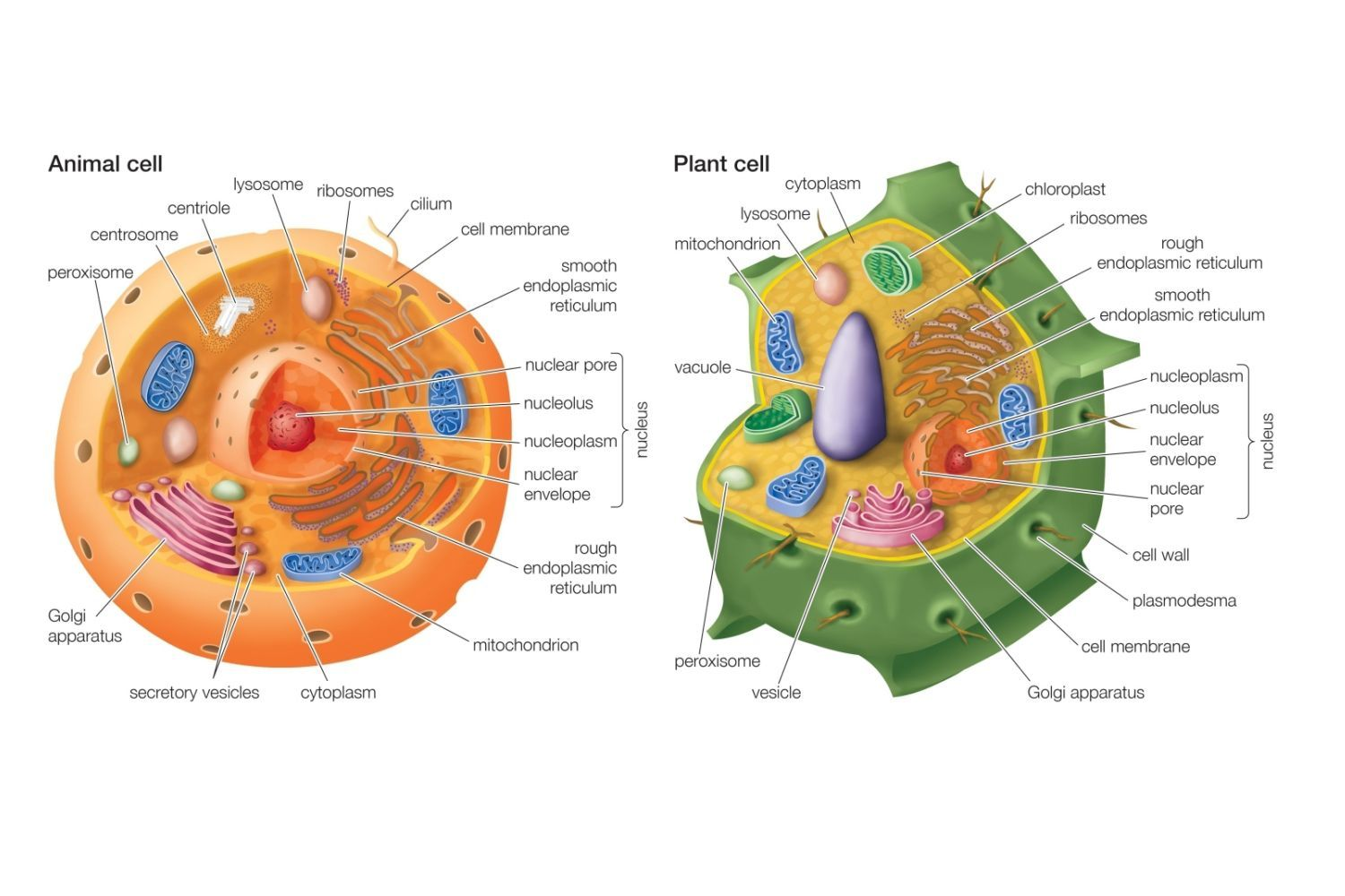 Differences Between Plant And Animal Cells With Images