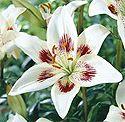 Fritz Gardens - Alaska Hardy Lilies.  It seems a little early to start planning my garden... but when the urge strikes...