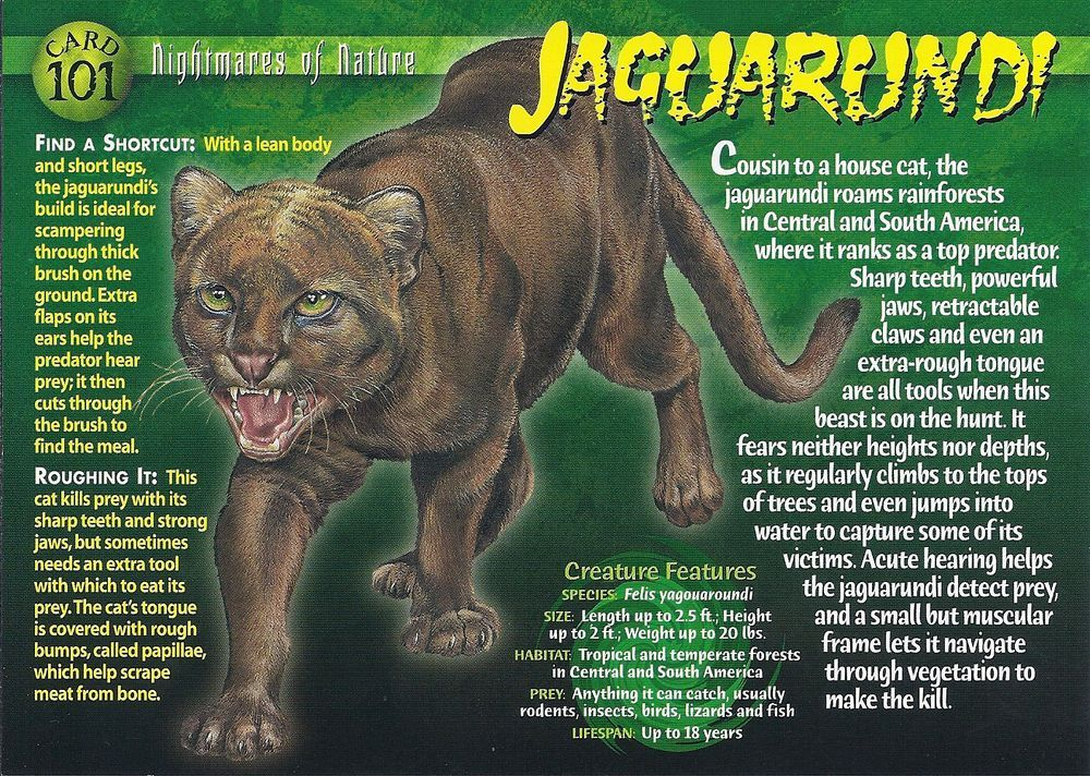 Jaguarundi Wild creatures, Animal facts, Animal species