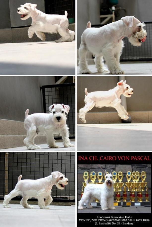 Jual Anjing Miniature Schnauzer White Male Iklan Anjing Dijual