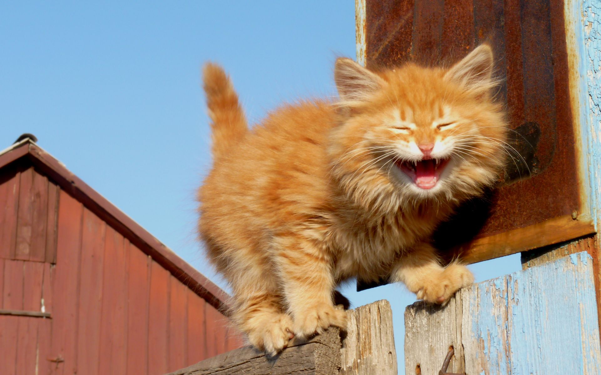 Image result for orange kitty laughing