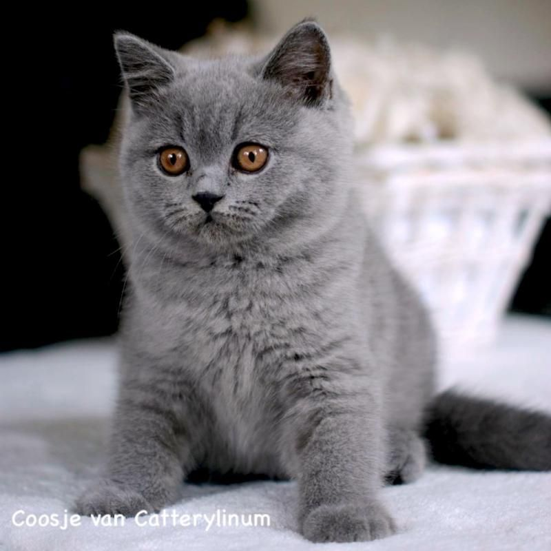 British Shorthair Kitten Cattery Linum The Netherlands Www