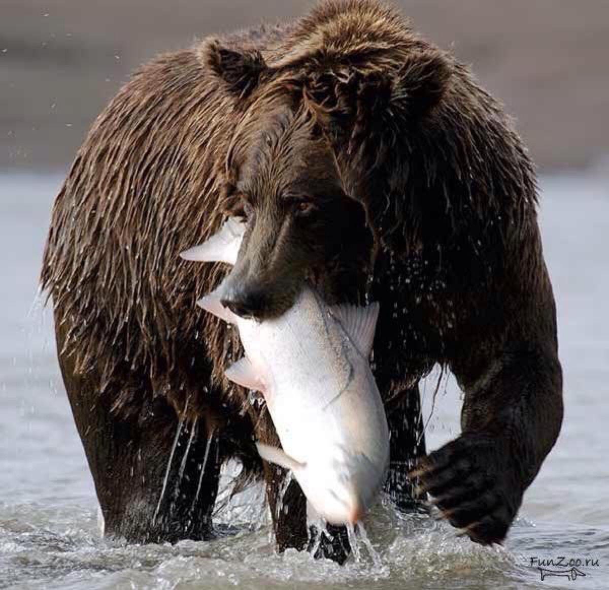 Bear Eating Fish Animals Beautiful Animals Animals Wild