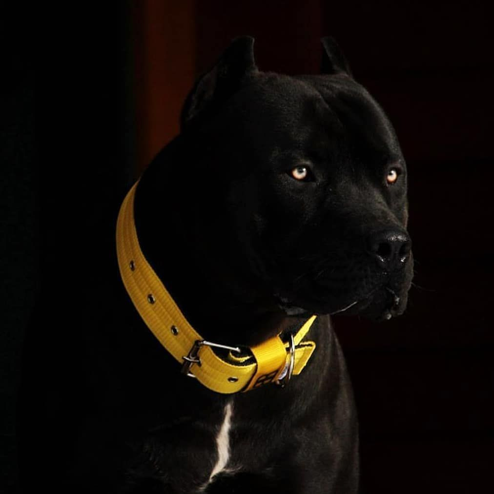 Pin By Reagan On Dogs In 2020 With Images Dogs Black Pitbull