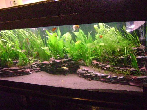 4ft slate tiered planted south american biotope fish for Live fish tank