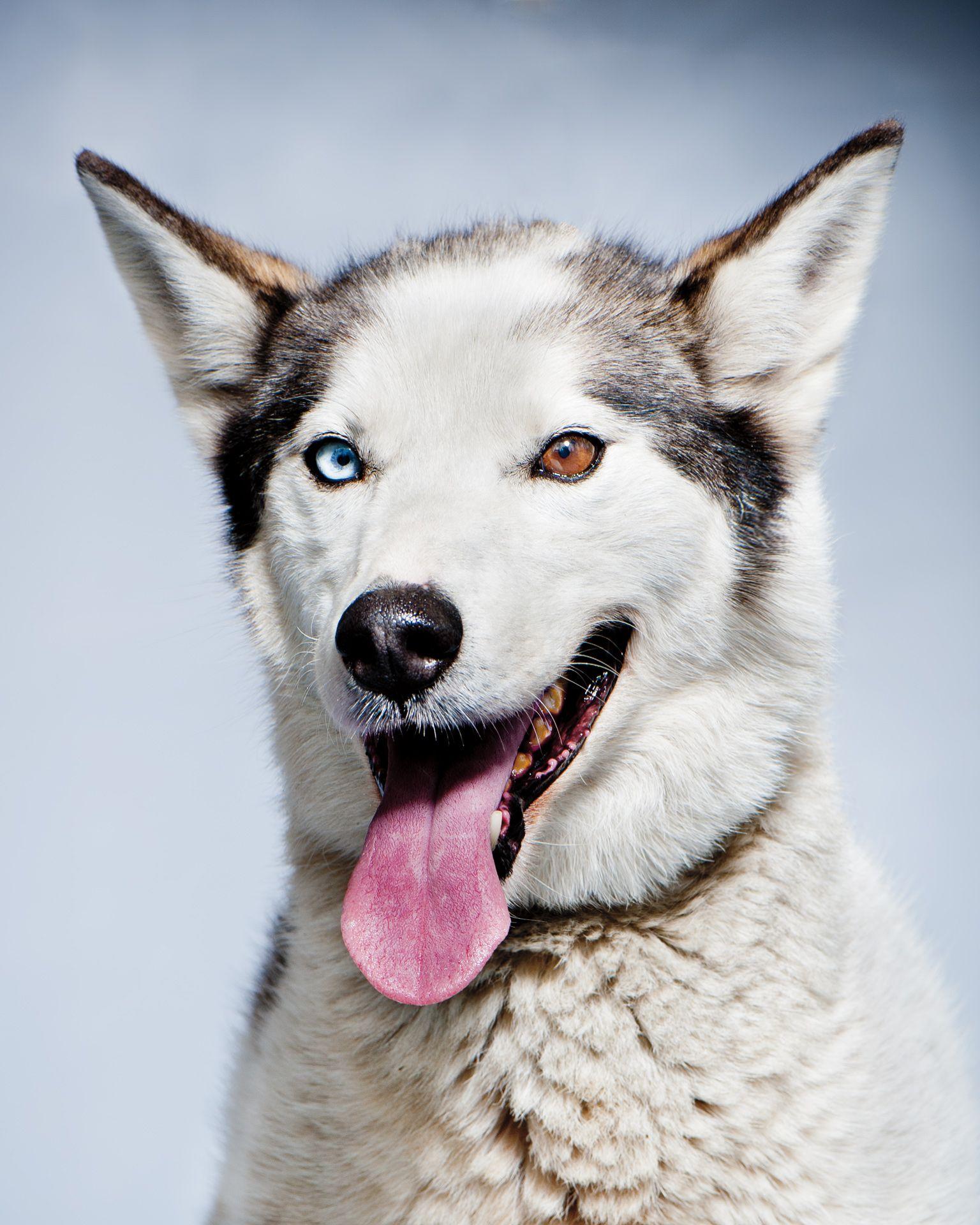 etick_iditarod_dog_116.jpg (1536×1920) Iditarod, Dogs