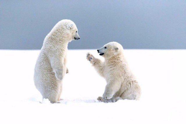 Epingle Par Kami Kelodin Sur Wildlife En 2020 Ours Polaire Bebe Ours Polaires Animaux Adorables