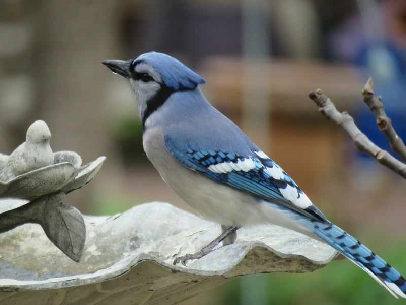 How To Attract Blue Jays 4 Essentials That Ll Entice Jays To Your