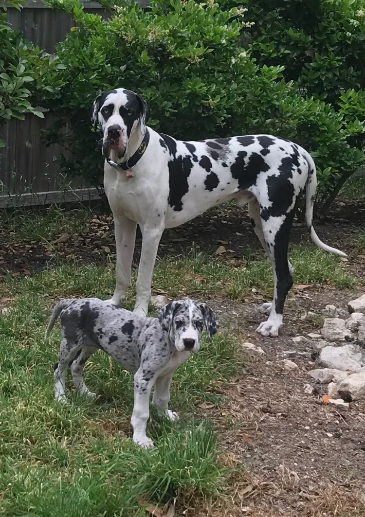 These Two Danes Rottweiler Dane Puppies Great Dane Dogs