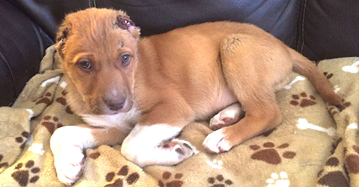 Couple finds puppy with no ears crying on doorstep and