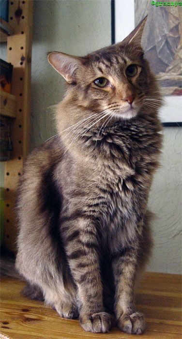 Callum Chocolate Tabby Mackerel U Callum Lukian Van Celeborn Rare Cats Cute Cats Tabby Cat