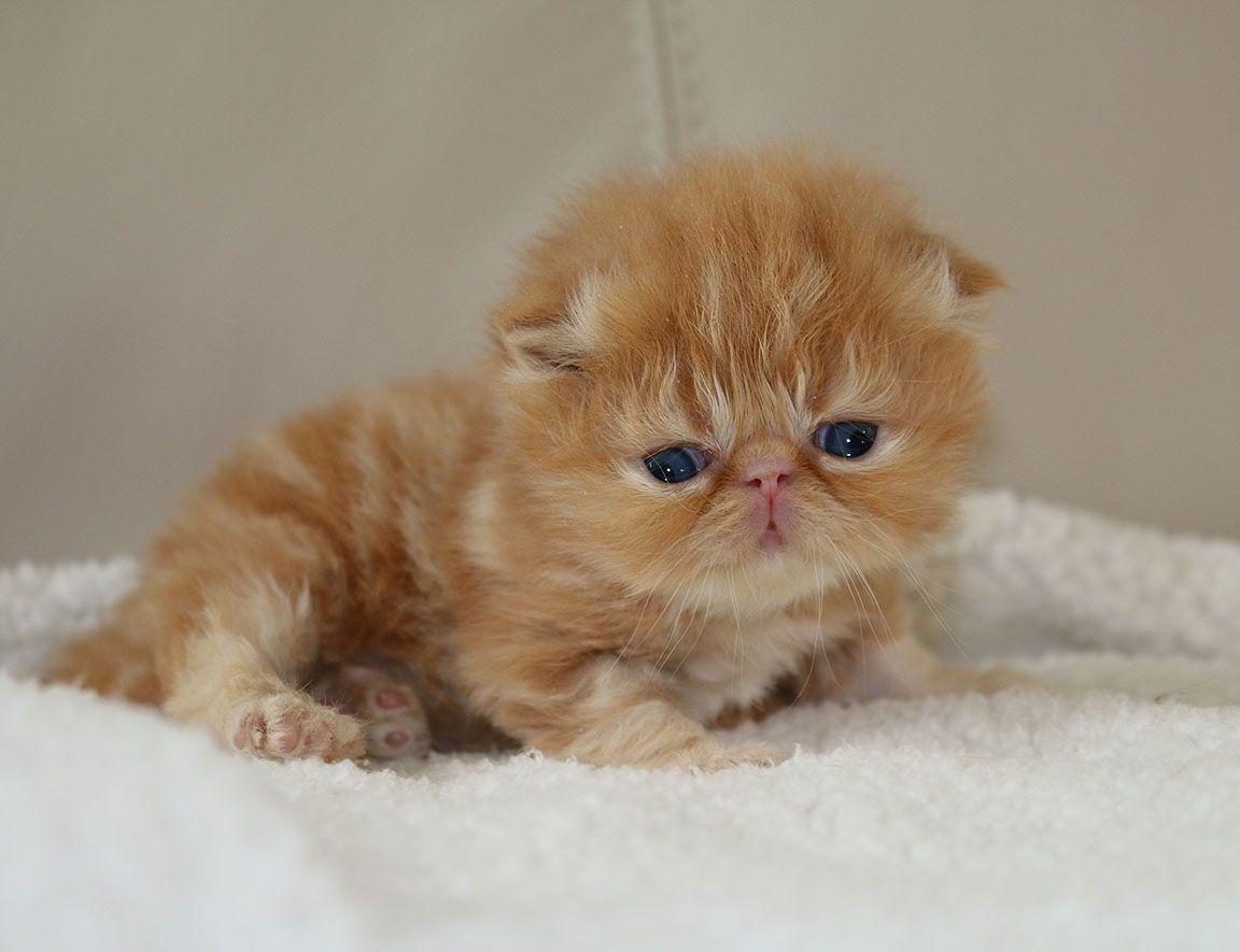 Alfenloch Flash Of Red Sky Solid Red Tabby Male Persian Kitten