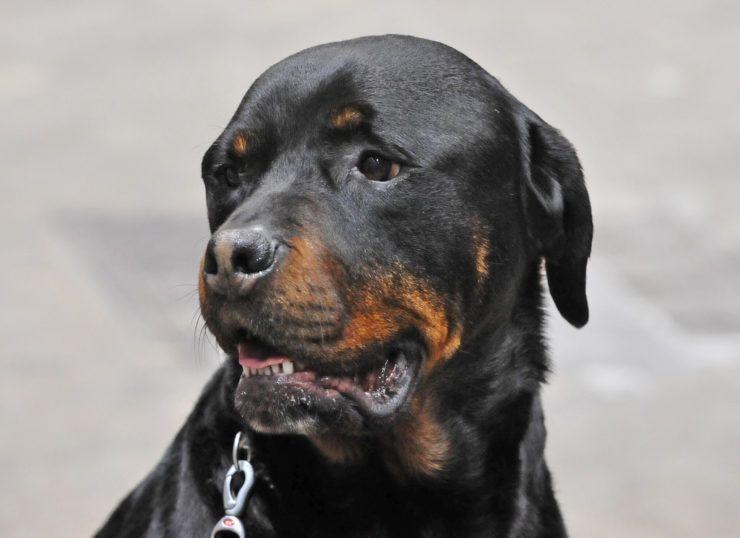 Did Rottweiler Come From Dobermann Bulldog Breeds Rottweiler