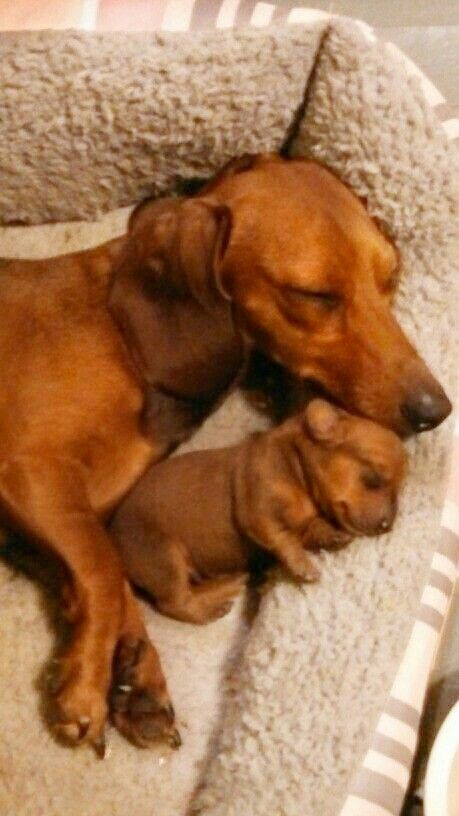 The Cuteness Dachshund Puppies Cute Dogs Dachshund Love