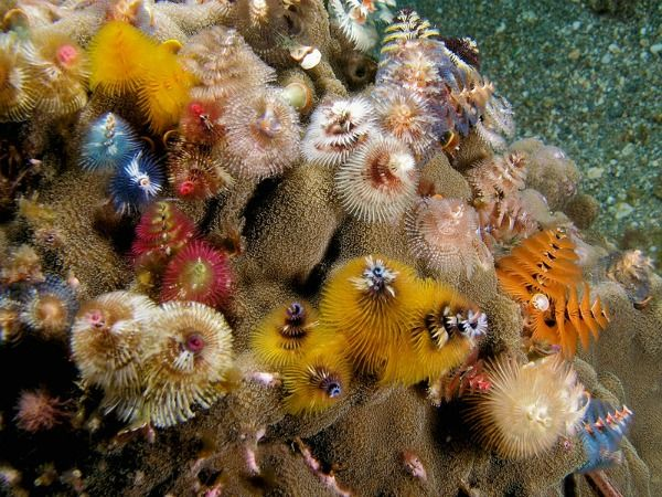 The Christmas Tree Worm Decorating Coral Reefs Year Round Beautiful Sea Creatures Beautiful Creatures Underwater Animals