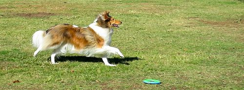 Gait, ©Janet Wall, at HowtoLoveYourDog.com http://loveyourdog.com #collie #action #play #running #rough #sable #dog #canine #beautiful