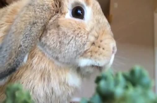 Bunny Eats Parsley In Slow Motion Video Holland Lop Bunnies