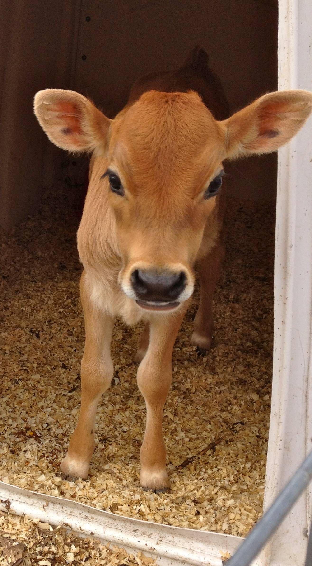 Hi wanna be my friend cute cows baby cows baby animals