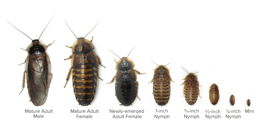 Dubia Roach Size Chart Interactive Sizing Dubia Roach Depot Dubia Roaches Roaches Bearded Dragon Food