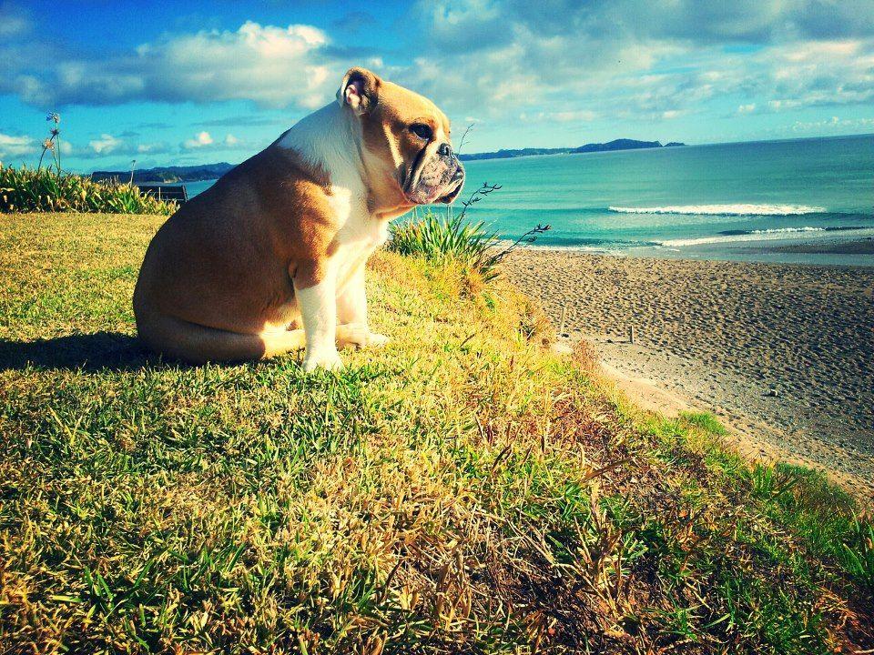 A peaceful moment of bulldog contemplation.