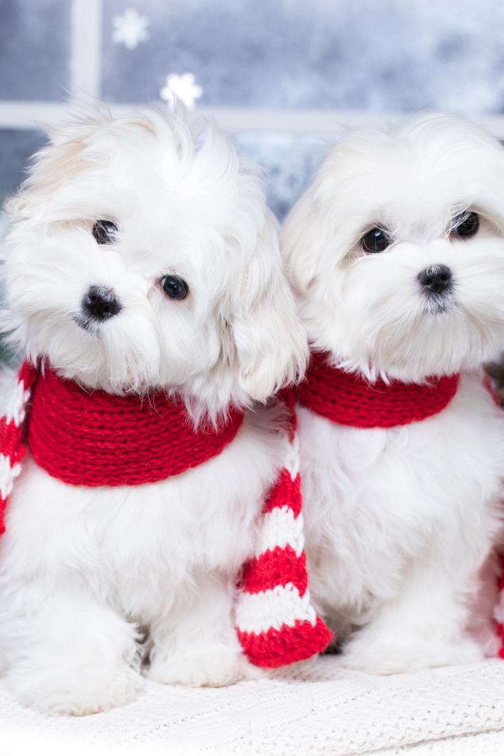 Maltese Dog In Santa Claus Scar Maltese Dog In Santa Claus Scarf