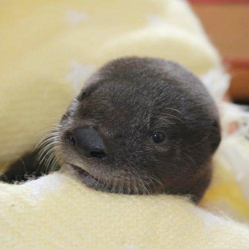 Otter-Pup