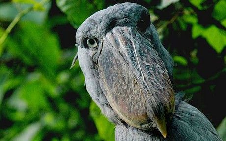 SHOEBILL - Mabamba swamp, Uganda  Standing more than three feet tall, the prehistoric-looking shoebill is unlike any other bird you'll ever see. Take a dugout canoe through the Mabamba swamp where the success rate for good sightings is above 80 per cent. They aren't a particularly nervous species, so once your guide finds one you should be able to observe them for some time.