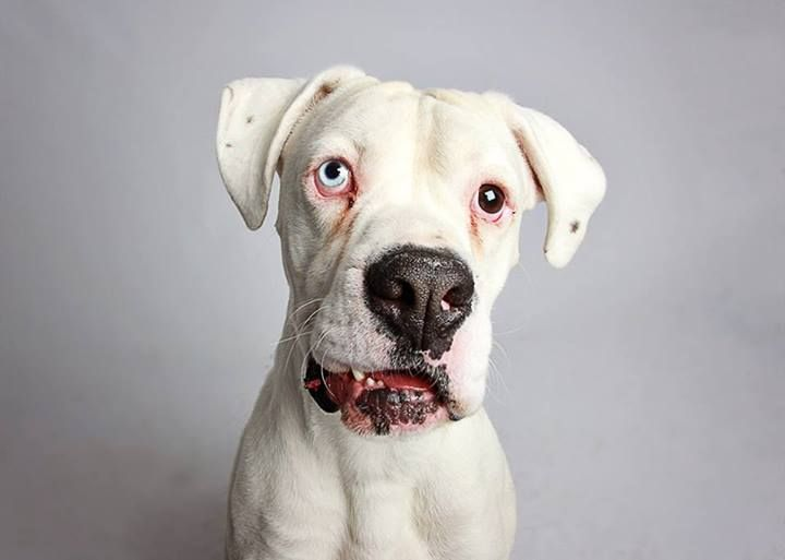 THOR the 3 year old Boxer wound up at The Humane Society of Utah for ...