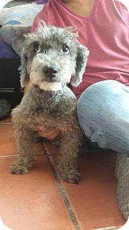 Calgary Ab Schnauzer Miniature Mix Meet Pepino A Dog For Adoption Http Www Adoptapet Com Pet 14376490 Calgary Alberta Dog Adoption Pet Adoption Pets
