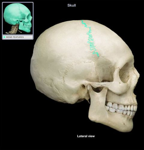 Chapter 7: Axial Skeleton (Highlighted Images) flashcards | Quizlet ...