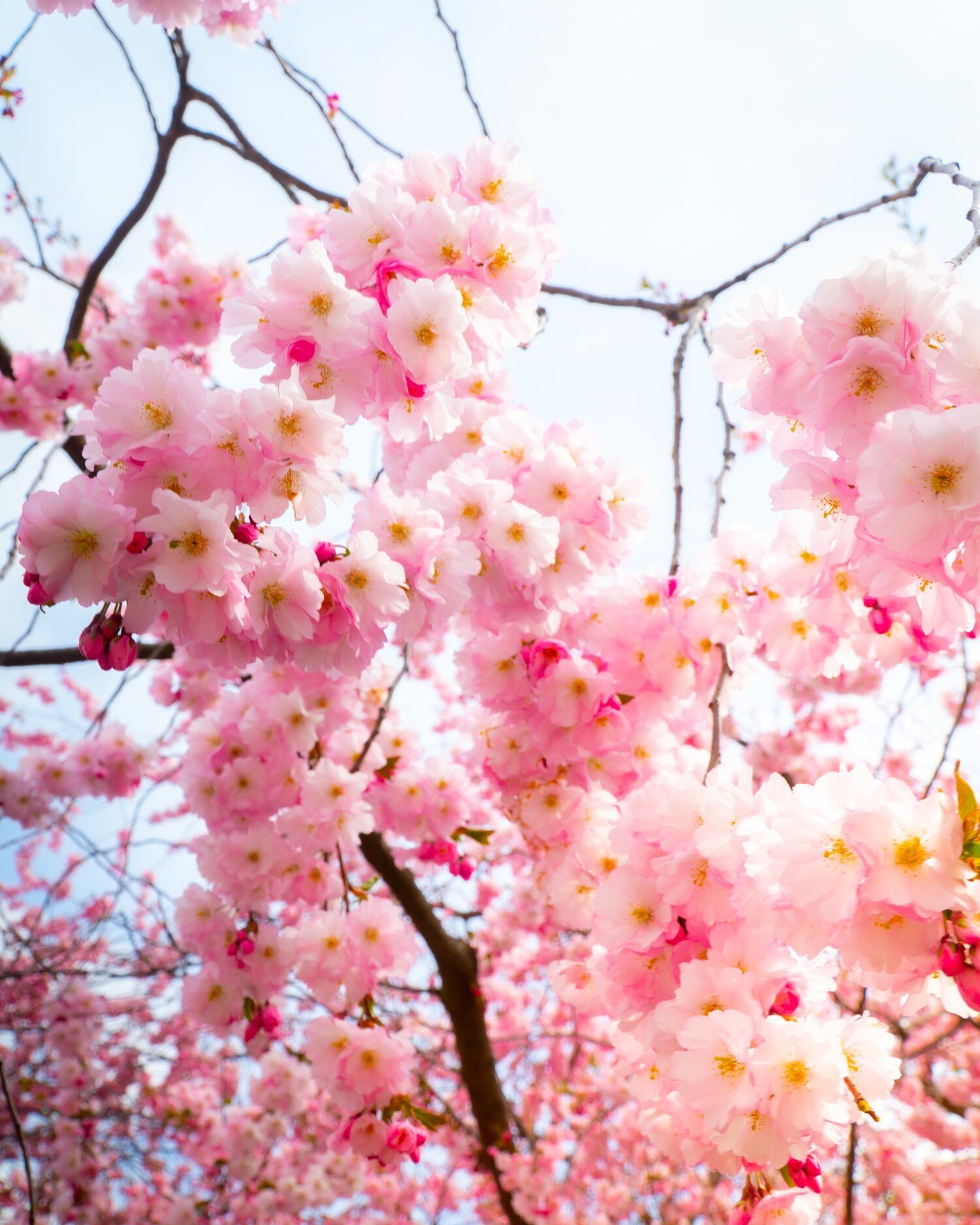 Cherry Blossom Stunning Photos And Mood Setting Artworks By Marcus Adriansson Cherry Blossom Blossom Japanese Cherry Blossom