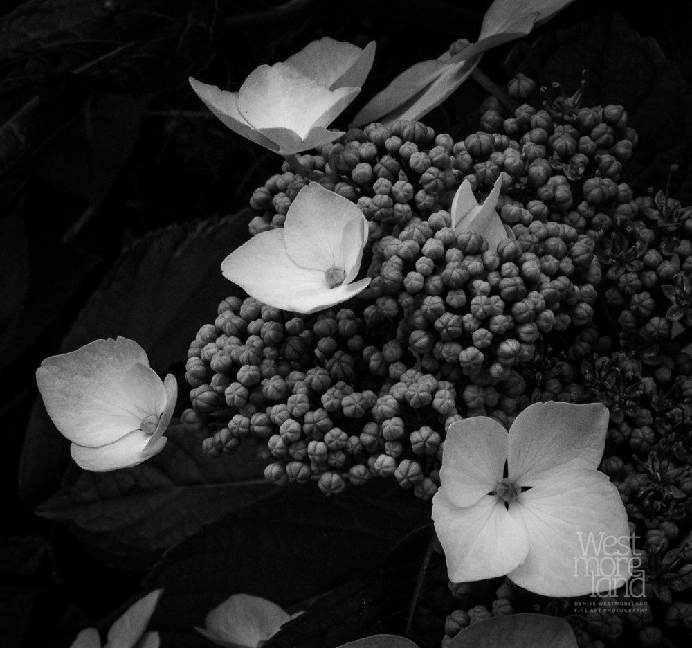 Black and white photography nature photography outdoor photography olympic peninsula washington hydrangea blossoms by denwestphotography on etsy
