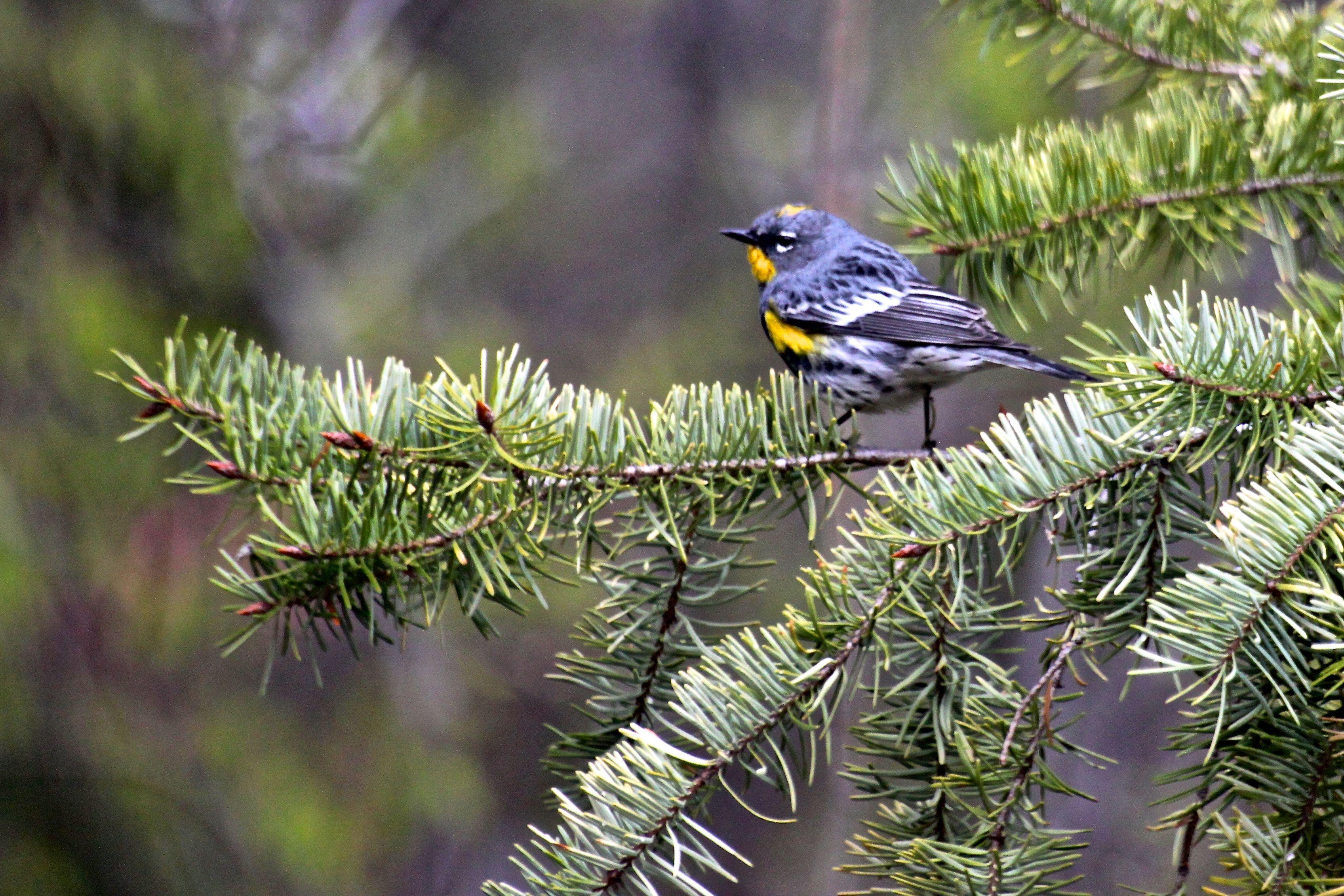 Yellow Rumped Warbler Okanagan Valley, BC, Canada Kent