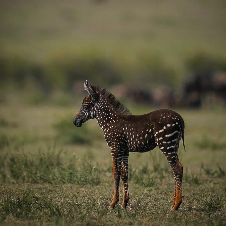 Thira Is A Zebra With Pseudo Melanism Alltheanimals Melanistic Animals Nature Animals Animals