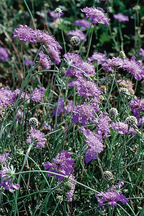 Picture of Live Pincushion Flower aka Scabiosa columbaria 'Butterfly Blue' Plant Fit 1 Gallon Pot