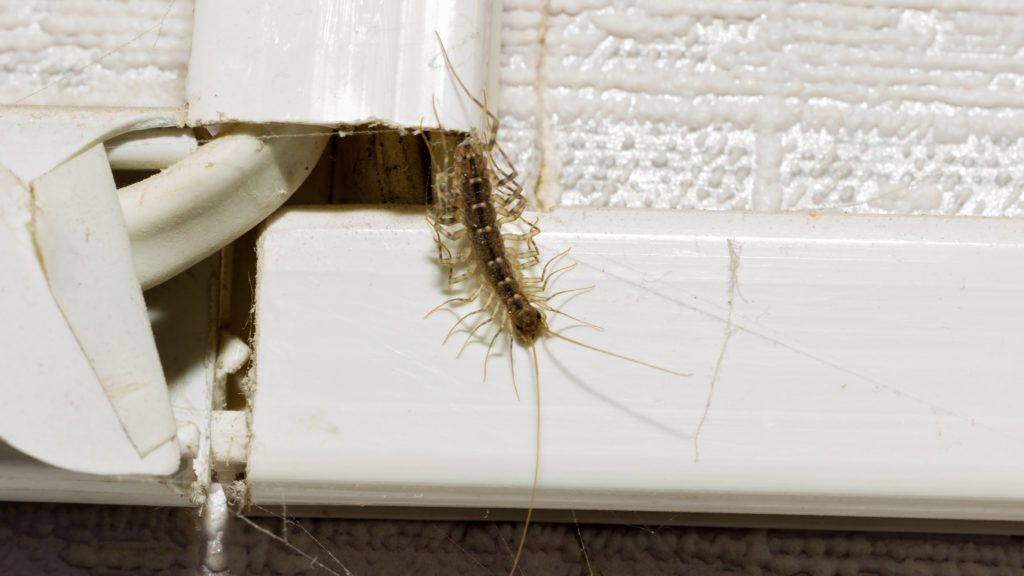 How To Get Rid Of House Centipedes In Apartment