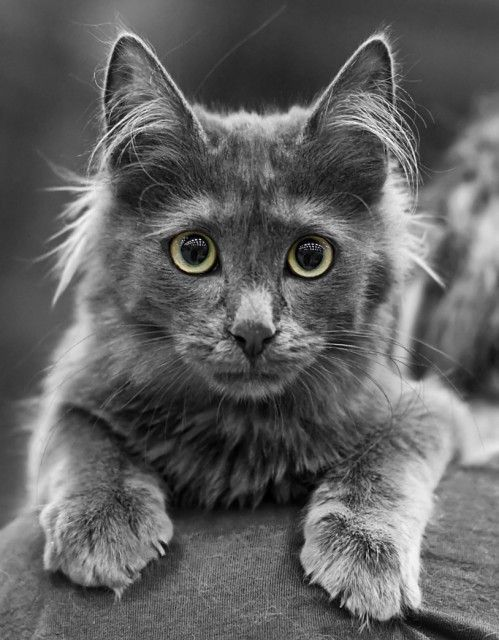 db9d388781 Turkish Angora Cat Breed Profile  turkishangoracat  cats  catbreeds ...