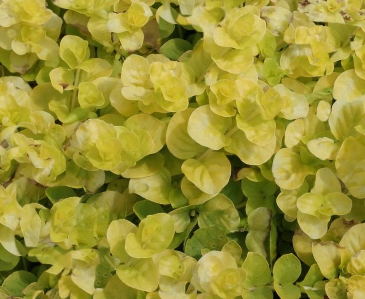 begehbare-bodendecker-rasenersatz-pfennigkraut-münzkraut-winterhart - gartenpflanzen winterhart immergrun